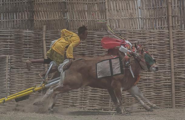 印尼公牛赛跑庆祝丰收