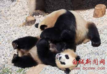 """昆明大熊猫表演""""功夫熊猫"""""""