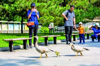 动物园,水禽湖的常住居民斑头雁夫妇带着宝宝大摇大摆地在路上散步。赵熔/摄