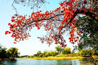 昨天立冬,圆明园的秋叶红红火火,继续演绎着秋的绝美。田文江/摄