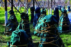 """玉东公园里,一些不耐寒的植物被套上了""""外衣"""",能确保安全过冬。"""