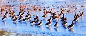 鸳鸯站在冰面上,好像有人指挥,整齐一致向前看。