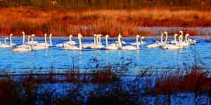 """美丽的白天鹅""""安营扎寨""""在怀柔水库西边湿地,成群结队地在水中觅食嬉戏。卜向东/摄"""
