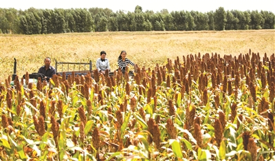 通榆县边昭镇红高粱丰收在望。