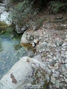 野生大熊猫喝水